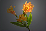 Peruvian Lily Photos - Lily Highlight. by Terence Davis