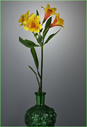 Peruvian Lily Photos - Lily In A Bottle. by Terence Davis