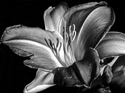 Stamen Digital Art Framed Prints - Lily in black in white Framed Print by Camille Lopez