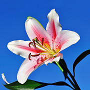 Pink And White Flower Posters - Lily in the Sky Poster by Kaye Menner