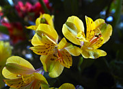 Peruvian Lily Photos - Lily of the Incas by Kurt Van Wagner