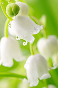 Lily Of The Valley Print by Boon Mee