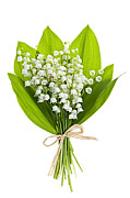 White Background Framed Prints - Lily-of-the-valley bouquet Framed Print by Elena Elisseeva