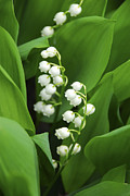 Green Seasonal Prints - Lily-of-the-valley  Print by Elena Elisseeva