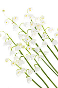 Tender Prints - Lily-of-the-valley flowers Print by Elena Elisseeva