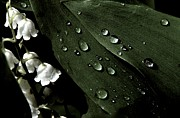Dewdrops Posters - Lily of the Valley Poster by Julie Grandfield