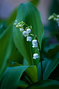 Lily Of The Valley Posters - Lily of the Valley Poster by Wayne Meyer