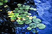 Waterlily Photos - Lily pads by Elena Elisseeva