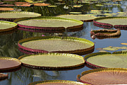Lily Pads Framed Prints Framed Prints - Lily Pads in the Garden Framed Print by Meg Rousher