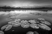Florida Rivers Photo Prints - Lily Pads in the Glades Black and White Print by Debra and Dave Vanderlaan