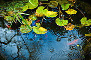 Silvia Ganora Framed Prints - Lily pads ripples and gold fish Framed Print by Silvia Ganora