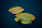 Lily Pads Framed Prints Prints - Lily Pads Print by T T