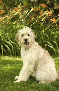 Doodles Prints - Lily the Goldendoodle with Daylilies Print by Anna Lisa Yoder