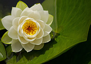 Waterlily Poster Posters - Lily White - Water Lily Poster by Jordan Blackstone