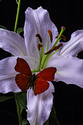 Garry Gay - Lily With red Butterfly