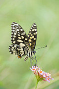 Lime Metal Prints - Lime Butterfly Feeding Metal Print by Tim Gainey