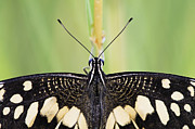 Swallowtail Framed Prints - Lime Butterfly Framed Print by Tim Gainey
