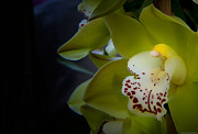 Orchids - Lime Green by Glenn Franco Simmons
