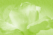 Roses Digital Art - Lime Rose by Camille Lopez