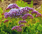 Purple Prints - Limonium - Statice Print by Author and Photographer Laura Wrede