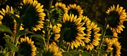 Sunflower Prints Prints - Line Dancing  Print by John Harding Photography