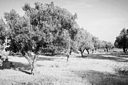Olive Oil Prints - Line Of Olive Trees On Farmland In Hammamet Tunisia Print by Joe Fox