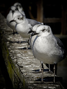 The Weathered Watcher Posters - Line of Seagulls Poster by Renee Barnes