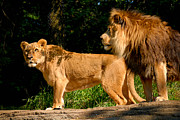 Pittsburgh Zoo Prints - Lion and Lioness at Pittsburgh Zoo Print by Amy Cicconi