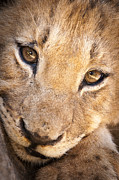 Predacious Prints - Lion cub portrait No. 1 Print by Andy-Kim Moeller