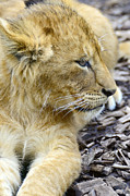 Mammals Originals - Lion cub by Tommy Hammarsten