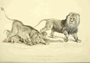 London Drawings - Lion Cubs in the Royal Menagery in the Tower of London by Unkown