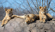 Mark Papke - Lion Cubs