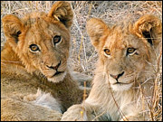 Photos Of Cats Photos - Lion Cubs by Yvonne Martin