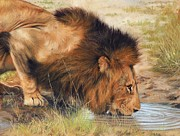 Waterhole Framed Prints - Lion Framed Print by David Stribbling