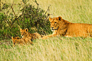 Serengeti Pyrography Prints - Lion Family Print by Kongsak Sumano