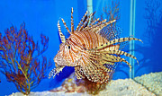 Aquariums Photos - Lion Fish by Aimee L Maher