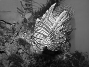 Preditor Metal Prints - Lion Fish Black And White Metal Print by Tessa Fairey