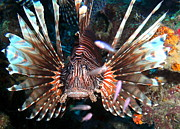 Cool Lion Prints - Lion Fish - En Garde Print by Amy McDaniel