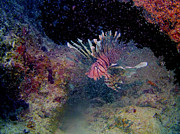 Randy Sprout - Lion Fish on The Reef