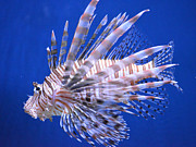 Designer Photos - Lion Fish by Renee Barnes