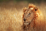 Lion In Grass Print by Johan Swanepoel
