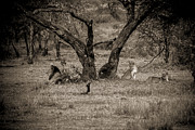 Travel - Tanzania - Lion in the Dog House BW by Darcy Michaelchuk