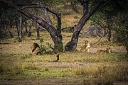 Travel - Tanzania - Lion in the Dog House by Darcy Michaelchuk