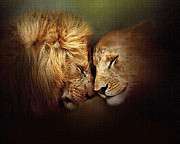 Lion Framed Prints - Lion Love Framed Print by Robert Foster
