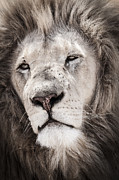 Bigcat Framed Prints - Lion No. 1 Framed Print by Andy-Kim Moeller