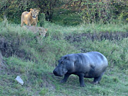 East Africa Prints - Lion Pair Stalking Hippo Print by Tom Wurl