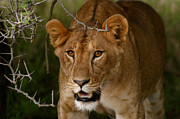 Lioness Framed Prints - Lioness Framed Print by Alison Kennedy-Benson