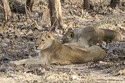 Pravine Chester - Lioness at Gir