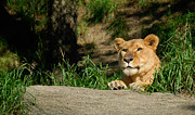 Lioness At Pittsburgh Zoo Print by Amy Cicconi