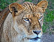 Maggy Marsh - Lioness Deep in Thought...